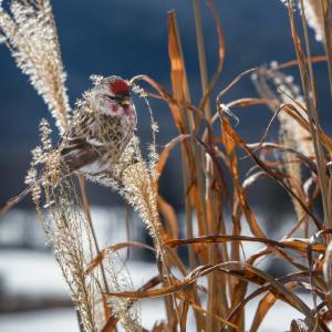"""Common Redpoll"" by Carolyn Monastra"