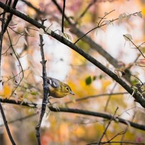 """Yellow-throated Vireo"" - original bird photograph by Matt Tillett via Creative Commons by Carolyn Monastra"