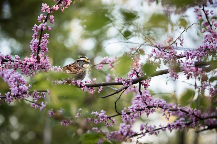 """""""White-throated Sparrow"""" by Carolyn Monastra"""