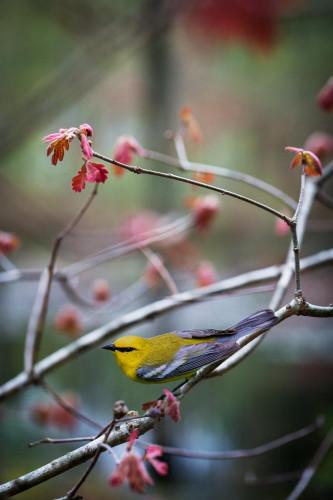 """Blue-winged Warbler"" by Carolyn Monastra"