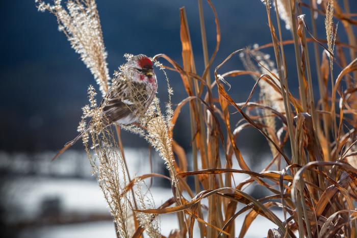 """Common Redpoll"" by Carolyn Monastra"